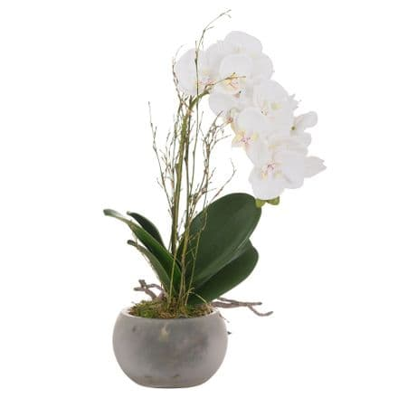 Small Glass Potted Orchid With Roots